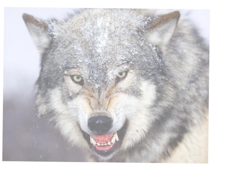 WolfPhoto-01